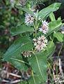 Asclepias speciosa showy milkweed plant.JPG