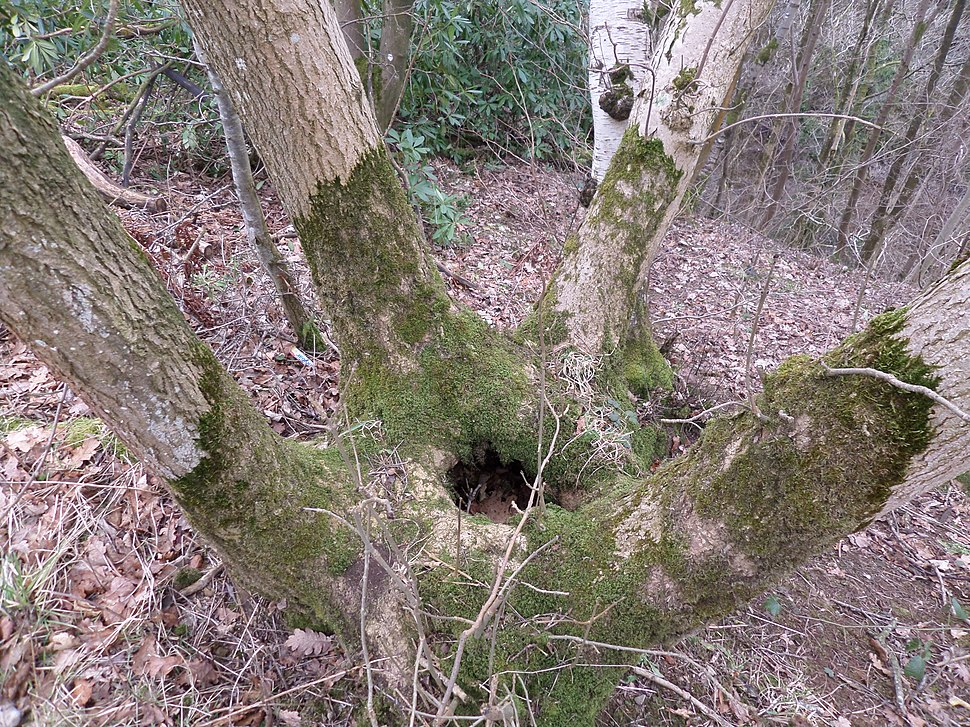 Ash (Fraxinus excelsior) coppiced bowl