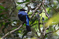Asian Fairy-bluebird (Irena puella).jpg