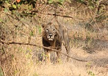 An Asiatic lion in Gir Forest National Park, India
