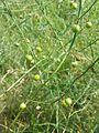 Asparagus officinalis sl1.jpg
