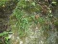 Asplenium rhizophyllum.jpg