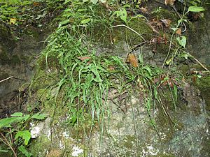 Asplenium rhizophyllum - Asplenium rhizophyllum on rocks in the Red River Gorge, Daniel Boone National Forest, Kentucky, USA.