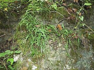 Walking fern Wikimedia disambiguation page
