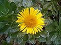 Asteriscus sericereus BotGardBln1105Inflorescence.JPG