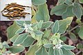 Ashwagandha plant with roots - Piouswatson - Own work (via wikimedia commons)
