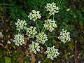 Athamanta cretensis 002.JPG