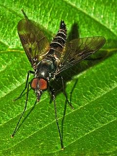 Athericidae Family of flies