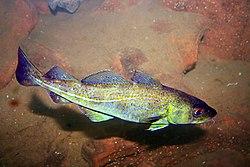 Atlantic cod (1).jpg