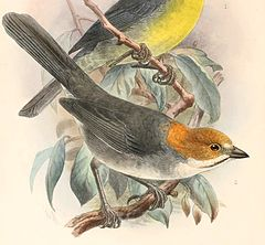 Atlapetes rufigenis Keulemans - high res.jpg