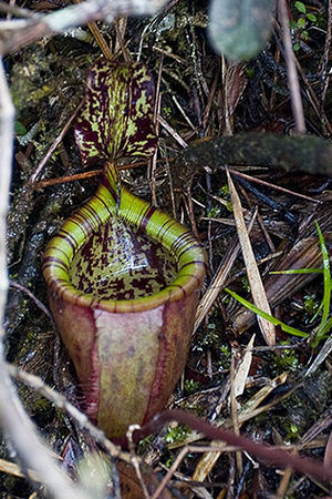 Nepenthes attenboroughii - The rosette (juvenile) pitchers of N. attenboroughii demonstrate the typical bell shape of this species when only a few inches high