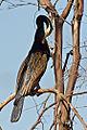 Australasian Darter (Anhinga novaehollandiae) (8597753164).jpg