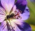 Australian Native bee Stuck on you.jpg