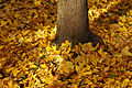 Autumn carpet - 1 (2932060076).jpg