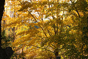 Brilliant orange of sunlight autumn trees