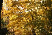 Brilliant orange of sunlight autumn trees