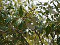 Avicennia marina subsp. marina (7210886812).jpg