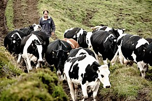 São Jorge cheese - Some Holstein-Friese cattle commonly used in milk production in the Azores