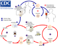 Babesia LifeCycle.png
