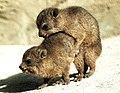Baby Rock Hyrax at play (35310038570).jpg