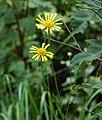 Balduina uniflora flower In Bloom-Photo credit Larry Allain, U.S. Geological Survey.jpg