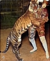 Bali Tiger Ringling Bros 1914 (colored).png