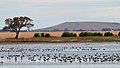 Banded Stilts and Red-necked Avocets (23868261644).jpg