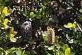 Banksia oreophila - Western Mountain Banksia.JPG