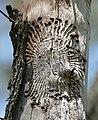 Bark Beetle (Scolytinae) larval galleries in dead wood (17083092007).jpg