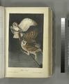 Barn Owl (NYPL b13559627-108291).tiff