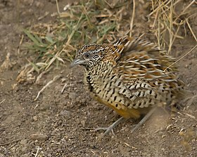Barred Buttonquail Rajkot.jpg