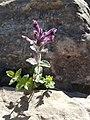 Bartsia alpina - Alpenhelm.jpg