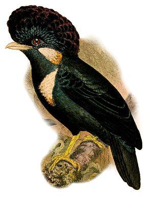 Helmeted myna - Image: Basilornis galeatus 1898