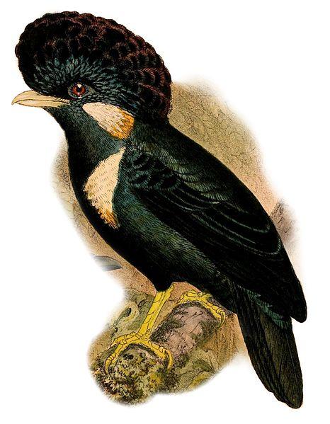 File:Basilornis galeatus 1898.jpg