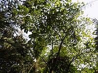 Bauhinia Picta -Arbre.jpg