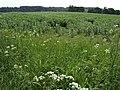 Bean field near Hoards Park - geograph.org.uk - 441123.jpg