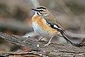 Bearded scrub robin (Cercotrichas quadrivirgata).jpg