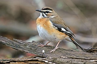 Bearded scrub robin species of bird
