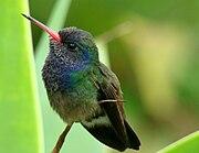 BeeHummingbird