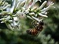 Bee (46307274).jpeg
