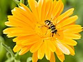 Bee on flower (14866340663).jpg