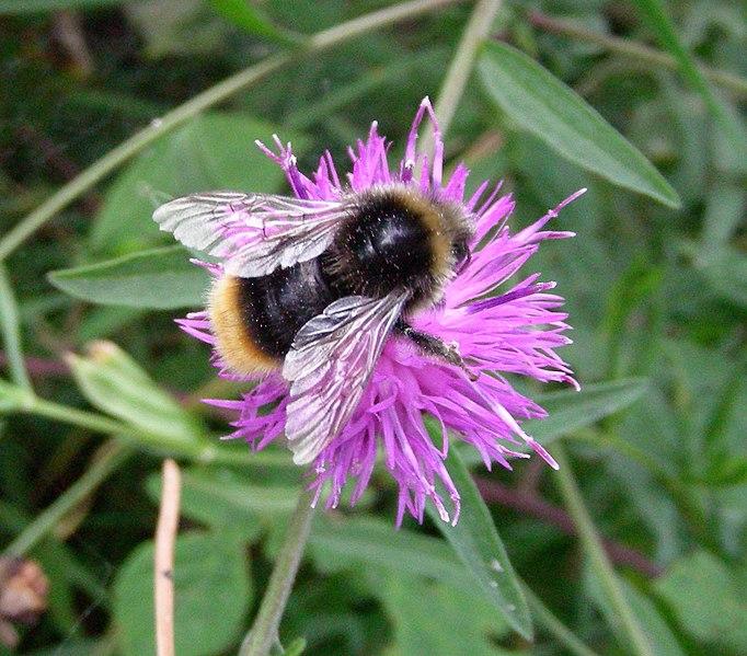 File:Bee on knapweed (17018052689).jpg