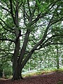 Beech tree - geograph.org.uk - 1477228.jpg