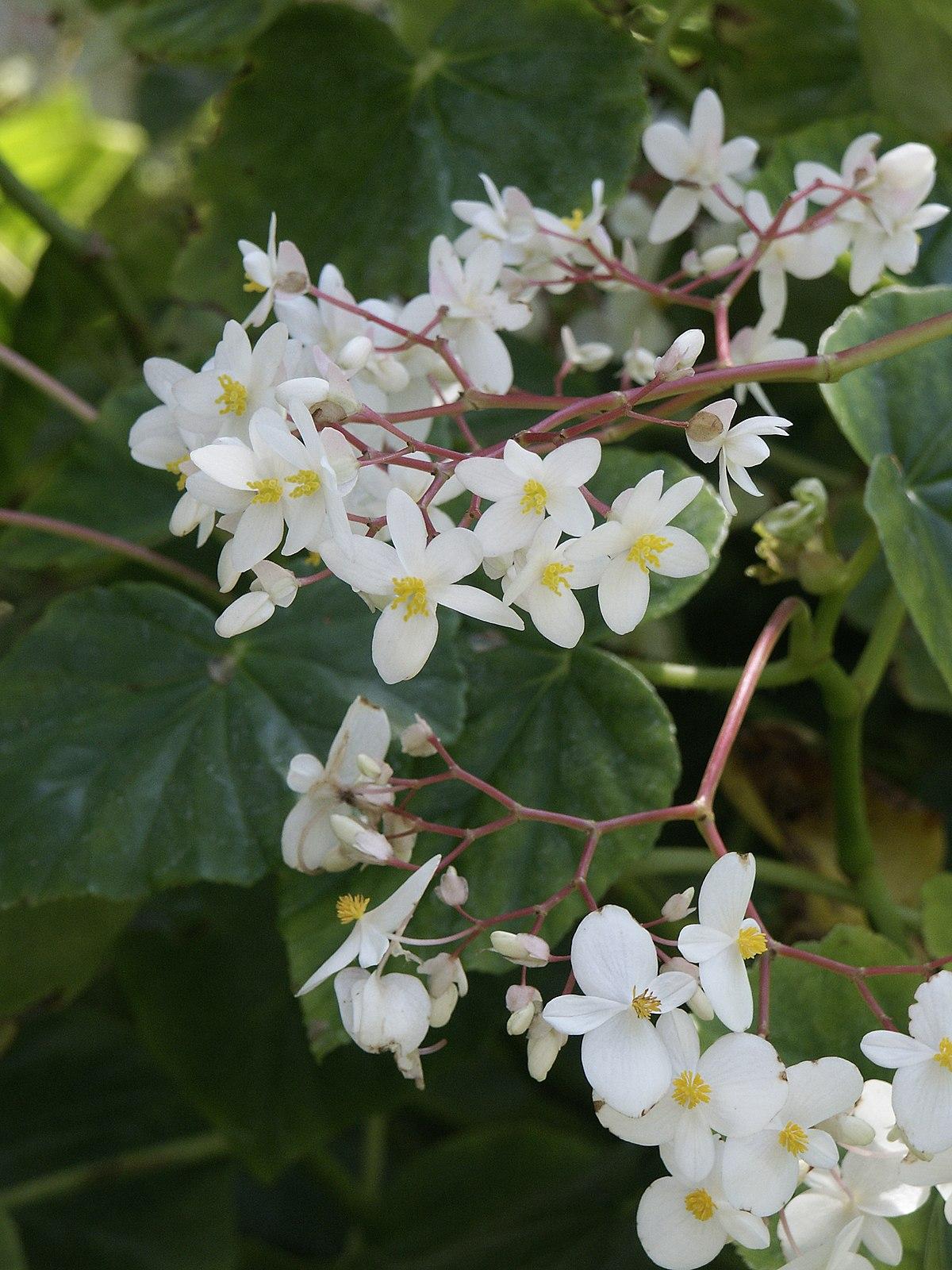 Begonia Minor Wikispecies