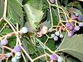 Bellissima (Araneus diadematus) hiding 1.JPG