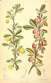 Berberis angulosa (colour-drawing)