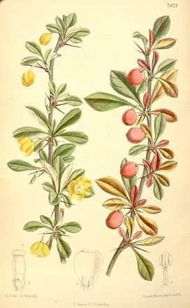 Berberis angulosa (colour-drawing).jpg