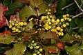 Berberis aquifolium 4209.JPG