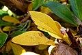 Berberis wilsoniae (4).jpg