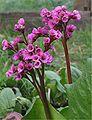 Bergenia cordifolia 'Purpurea'.jpg